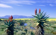 Aloes_© South African Tourism