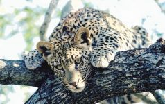 Leopard 2_© South African Tourism