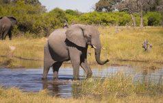 botswana-elephant_19238167672_© Amazing Africa