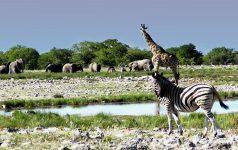 etosha-nationalpark-safari-tierwelt_© Amazing Africa