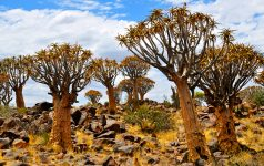 namibia-kcherbaumwald-quiver-tree-forest_© Amazing Africa