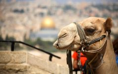 IMG_3145 a camel on the background of The Temple Mount_© www.goisrael.de