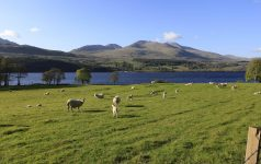 SHEEP AND LAMBS IN A FIELD ON THE SOUTH SHORE OF LOCH TAY WITH BEN LAWERS IN DISTANCE PIC: P.TOMKINS / VisitScotland / SCOTTISH VIEWPOINT TEL: +44 (0) 131 622 7174 FAX: +44 (0) 131 622 7175 E-Mail: info@scottishviewpoint.com WEB: www.scottishviewpoint.com This picture cannot be used without prior permission of Scottish Viewpoint.