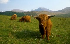 HIGHLAND CATTLE GRAZE IN THE FOREGROUND WITH THE SNOW COVERED MASS OF BEN NEVIS  HIGHLAND.PIC: VisitScotland/SCOTTISH VIEWPOINTTel: +44 (0) 131 622 7174  Fax: +44 (0) 131 622 7175E-Mail : info@scottishviewpoint.comThis photograph can not be used without prior permission from Scottish Viewpoint.