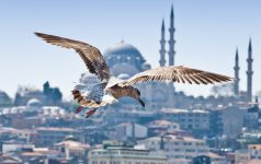 A seagull flying over the blue waters of the Golden Horn on a beautiful Istanbul cityscape with an Ottoman mosque, Istanbul, Turkey
