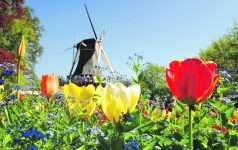 Dutch windmill and colorful tulips and forget-me-not flowers in spring garden 'Keukenhof', Holland