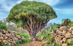 Hiking trail with dragon Tree near Las Tricias (La Palma, Canary
